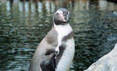 Müstilise põhjuse läbi surid Kanada loomaaias uppumissurma korraga 7 pingviini