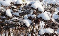 Külma trotsivad kaunitarid
