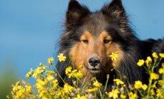 Kas teadsite, et need taimed võivad mürgitada teie koera?