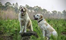 Selgus põhjus, miks labradori retriivereid on oluliselt lihtsam koolitada kui teisi koeri
