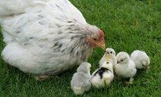 Põnevaid fakte kanade kohta: need sulelised on targemad kui sa arvatagi oskad