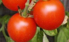 Tee oma tervisele teene: kolm põhjust, miks süüa rohkem tomateid