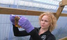 Helsingi ülikoolis töötav eesti putukafüsioloog Dalial Freitak oma uurimisobjektide, meemesilastega.
