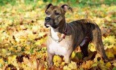 ULATA ABIKÄSI: Pehme kaisuteki ostuga toetad koera, kes ootab kasvajaoperatsiooni
