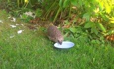 VIDEO: Siil sööb, joob ja sügab ennast aias mõnusasti