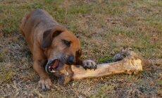 Loomaarst hoiatab: miks ei tohi koerale grillkonte või lihajääke sööta?