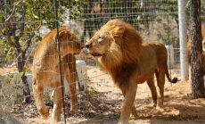 Lesbikiskjad? Viis Botswana emalõvi kasvatasid omale lakad ja hakkasid
