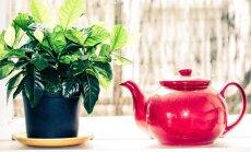 Чай спасает от старческого слабоумия