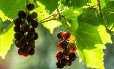 ФОТО читателя Delfi: Созревший виноград нравится не только хозяевам