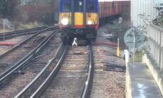 VIDEO: Rong jäi peatusesse hiljaks, sest vastsündinud luigepoeg jalutas enesekindlalt raudteerööbastel