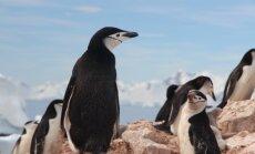 Vaade ajalukku: Sõda ja maamiinid päästsid pingviinid välja suremast