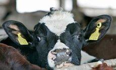 Jõudluskontroll: Piimatoodang suureneb, lehmade arv väheneb