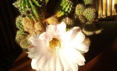 Kaktus õitseb