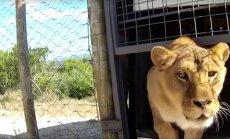Pisarateni liigutav VIDEO: Tsirkusest päästetud loomad ei suuda esimesi samme vabaduses astudes oma õnne uskuda