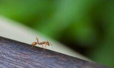 HÜVA NÕU: Kuidas tõrjuda sipelgaid?