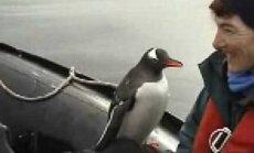 VIDEO: Ellujäämistrikk! Pingviin pääses eriti nutikal moel näljaste mõõkvaalade käest