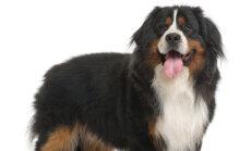 Omanikud kahtlustavad koera röövimist