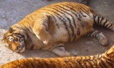 Šokeerivad FOTOD: Hiina loomapargis laisklevad eluohtlikult rasvunud tiigrid