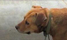 Imeline päästmislugu: terve kümnendi ketis istunud koer oli juba eluisu kaotanud, kui juhtus ime
