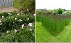 AIADISAINER: kõrrelised on aia sihvakad iludused