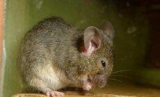 Mida see hiir küll mõtles? Muuseumisse tunginud näriline valis kõikvõimalike ahvatluste seast kõige veidrama