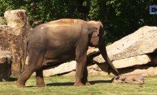 Pisike elevandibeebi on nii sügavas unes, et isegi emaelevant ei suuda teda üles äratada