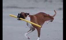 Liigutav VIDEO: Koer, kes kaotas oma mõlemad tagajalad naudib elu täiel rinnal