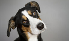 Põnev: Miks koerad pead kallutavad, kui nendega räägime?