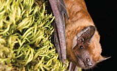 Mõisaparki uuendades tuleb mõelda nahkhiirtele