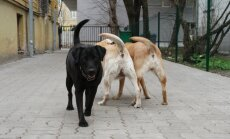 Labradoridega jalutamas