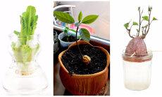 15 köögivilja, mida saab pärast söömist uuesti kasvama panna