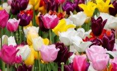 Näpunäited, mida teha tulpide hahkhallituse korral
