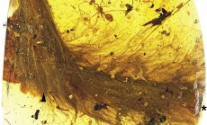 Avastus: Sauruse sabasuled säilisid tänase päevani iides merevaigutükis