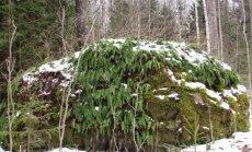 Leili metsalood: Igahaljas kivi-imar kaunistab Riinu kivi
