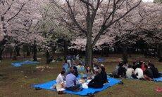 Sakura ehk Jaapani kirsipuud on selle riigi kuulsaim bränd