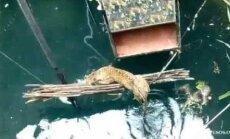 Õnnelik õnnetus: Indias päästeti uppumissurmast sügavasse kaevu kukkunud leopard