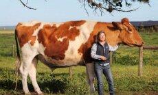 HÄMMASTAV: Hiiglaslik veis Big Moo on saanud Lõuna-Austraalia huviobjektiks