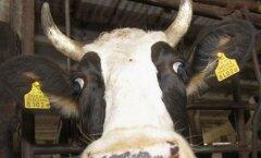 Ида-вируская фирма Järve прекращает производство молока
