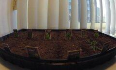 <em>Time-lapse</em> VIDEO: Maitserohelise kasvamine 14 päeva jooksul