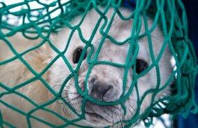 Спасатели отвезли заблудившегося в городе тюлененка к морю