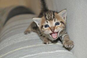 Kas kassid näuvad häälevarjundiga?