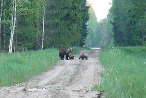 LUGEJA VIDEO   Vaata, kuidas karuema poegadega metsateel askeldab!