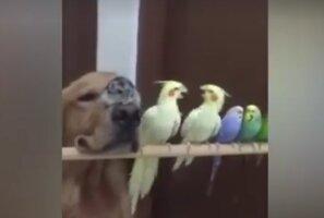 Humoorikas VIDEO: Karvased ja sulelised! See koer püüab kogu hingest kampa sulanduda