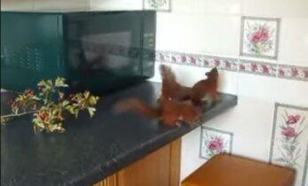 VIDEO: Mis juhtub, kui köögi vallutavad oravapojad?
