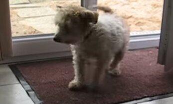VIDEO: Koer tuleb õuest ja pühib jalad korralikult puhtaks
