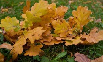 Miks sügisel lehed langevad?