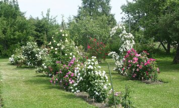 Pargiroosid Rosmakori roosiaias