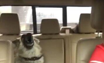 Humoorikas VIDEO: Saksa lambakoera kutsikas magab auto tagaistmel, kui järsku kõlab raadiost tema lemmiklaul