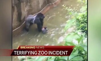 VIDEO: Ohio loomaaia gorilla sai enda kätte imiku, loom lasti maha