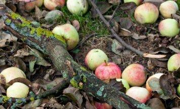 Mahakukkunud õunu saab veel mitmel moel kasutada.